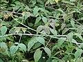 Starr 061205-1886 Rubus glaucus.jpg