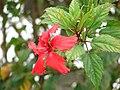 Starr 070308-5279 Hibiscus rosa-sinensis.jpg