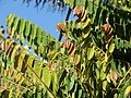 Starr 070403-6346 Phyllanthus acidus.jpg