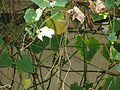 Starr 070405-6817 Thunbergia grandiflora.jpg