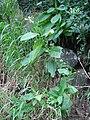 Starr 080314-3496 Nicotiana tabacum.jpg
