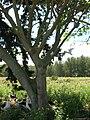 Starr 080604-9202 Erythrina variegata.jpg