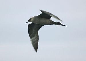 Parasitic jaeger - Dark morph (Iceland)