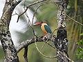 Stork billed kingfisher-kannur-kattampally - 9.jpg