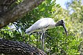 Stork in tree at McKay Creek Pinellas County Florida October 13 2020 01.JPG