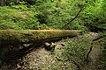 Stout Memorial Grove in Jedediah Smith Redwoods State Park in 2011 (20).JPG