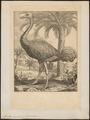 Struthio camelus - 1700-1880 - Print - Iconographia Zoologica - Special Collections University of Amsterdam - UBA01 IZ18900011.tif