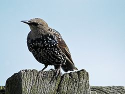 Sturnusvulgaris starling young.jpg
