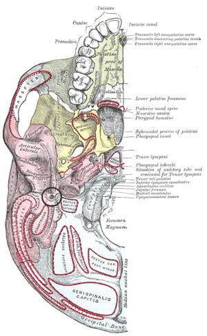 Stylomastoid foramen - Base of skull. Inferior surface. Pink region is temporal bone, and stylomastoid foramen is in black circle at center of pink region.