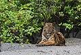 Sub-adult Bengal Tiger looks at us in Sundarban.jpg