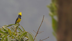 Sultan Tit Mahananda Wildlife Sanctuary West Bengal India 05.12.2015.jpg