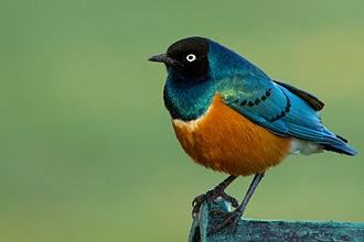 Superb starling - Individual at Lake Naivasha, Kenya