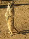 A meerkat in the Kalahari