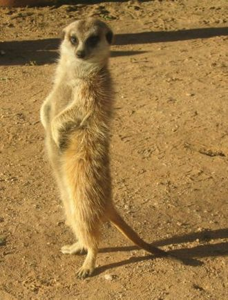 Kalahari Desert - A meerkat in the Kalahari.
