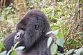 Susa group, mountain gorillas - Flickr - Dave Proffer (9).jpg