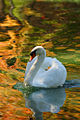 Swan In Autumn Lake.jpg