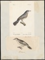 Sylvia subalpina - 1700-1880 - Print - Iconographia Zoologica - Special Collections University of Amsterdam - UBA01 IZ16200143.tif