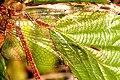 Sympetrum.striolatum.wing.detail.jpg