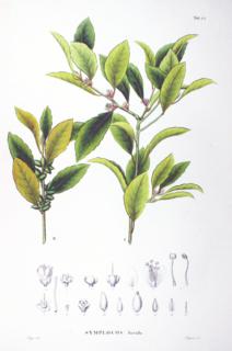 <i>Symplocos</i> genus of plants