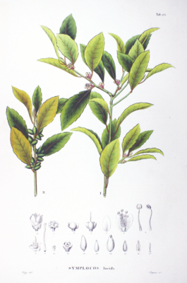 Symplocos lucida, Illustration