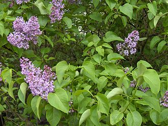 When Lilacs Last in the Dooryard Bloom'd - Lilac flowers and heart-shaped leaves