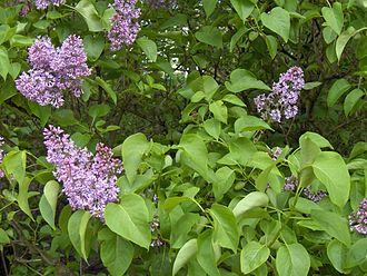 Syringa vulgaris - Image: Syringa.vulgaris(01)