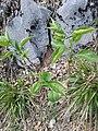 Syringa vulgaris, Oleaceae 07.jpg
