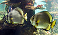 Szkola pod zaglami Nausicaä Centre National de la Mer fishes.jpg