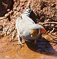Taeniopygia guttata -Karratha, Pilbara, Western Australia, Australia -male-8.jpg
