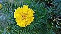 Tagetes Flower.jpg