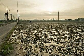 Water caltrop - Water caltrop field in Tainan City