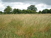 Tall grasses, near Bickerton - geograph.org.uk - 1407041.jpg