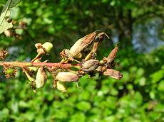 Taphrina padi maturing. Dalgarven, Scotland..JPG