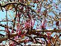Tapinanthus rubromarginatus, blomme, c, Waterberg.jpg