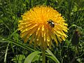 Taraxacum sect. Ruderalia&Lucilia20110528 009.jpg