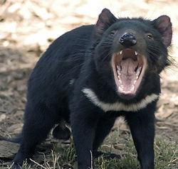 一隻雄性袋獾