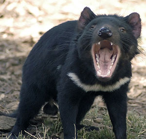 Mouth - Tasmanian devil in defensive stance