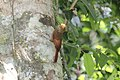 Tawny-winged Woodcreeper (Dendrocincla anabatina) (7222966488).jpg