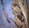 Tawny owls (51145285762).jpg