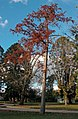 Taxodium distichum (Swamp cypress) in Collins Park.jpg