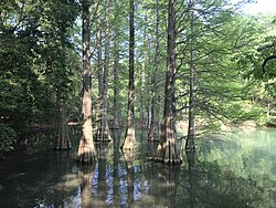 Taxodium distichum in Kasuya Research Forest of Kyushu University 10.jpg