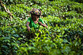 Tea crops gathering process. Bogawantalawa Valley. Sri Lanka.jpg