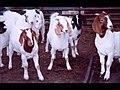 Teddy goats.jpg