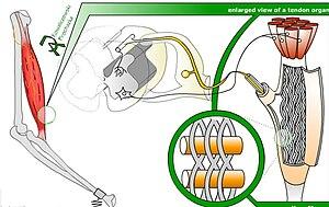 Golgi tendon organ - Image: Tendon organ model