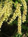 Terminalia elliptica - Indian Laurel flowers at Nedumpoil (17).jpg