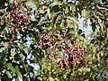 Terminalia paniculata Roth (16147941322).jpg