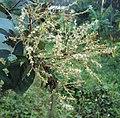 Terminalia paniculata flowers 5.JPG