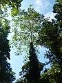 Tetameles nudiflora Habit (4).jpg