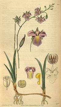 Tetramicra elegans (as syn. Brassavola elegans) - Curtis' 58 (N.S. 5) pl. 3098 (1831).jpg