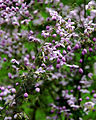 Thalictrum delavayi Prague 2014 3.jpg
